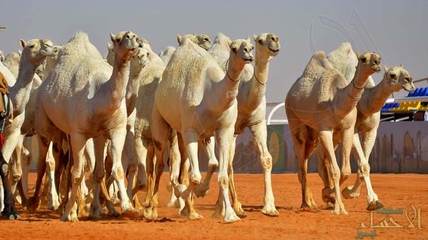 ترقيم 1.4 مليون رأس إبل في السعودية بشرائح إلكترونية
