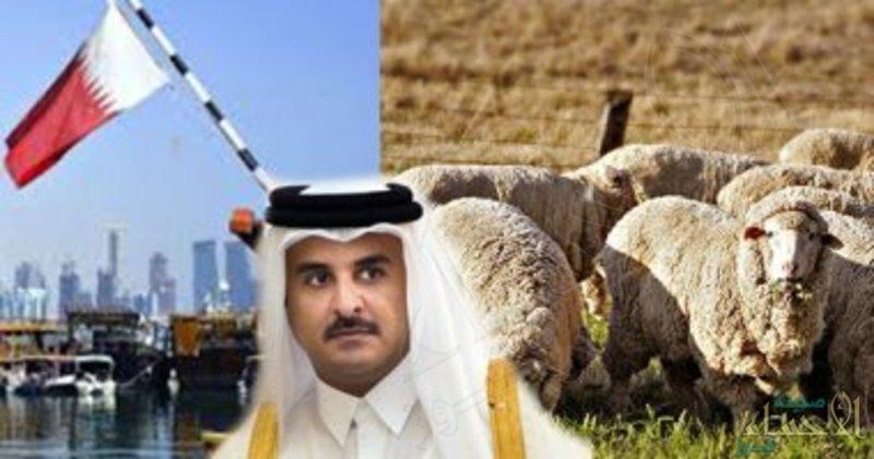 ضمن مغامراته الطائشة.. النظام القطري يستأجر مراعٍ لتربية المواشي والإبل بطهران
