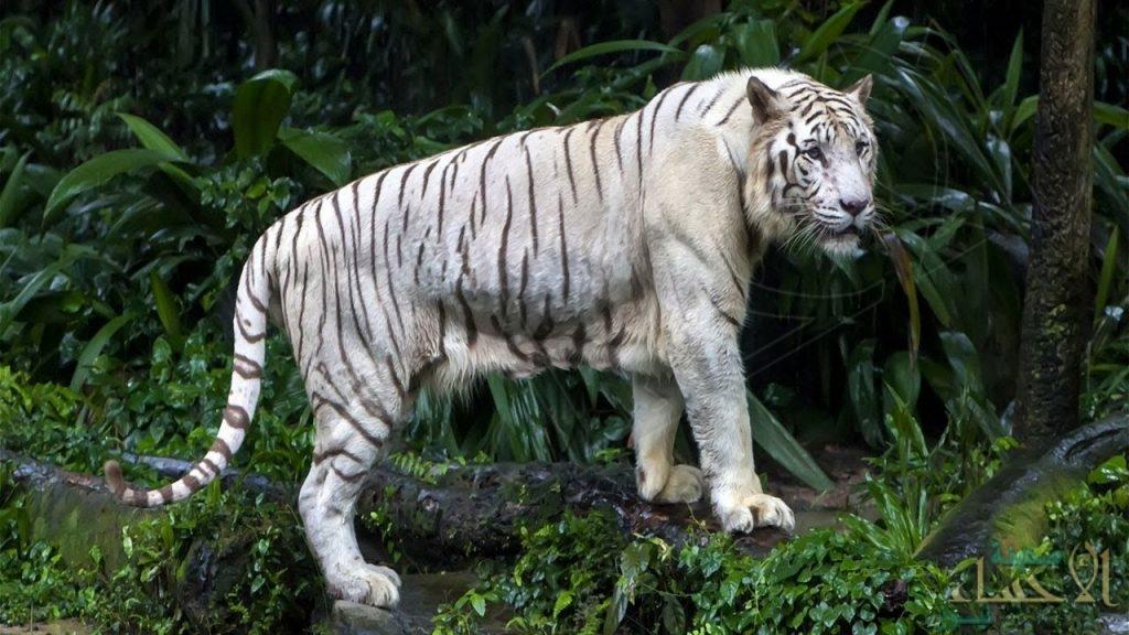 النمر الأبيض ينهش حارسه ويقتله !!