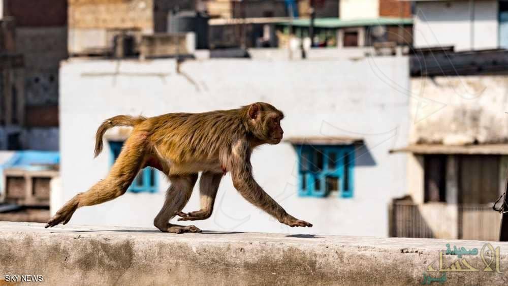 في واقعة غريبة .. هندي قتلته القردة بطريقة لا تخطر على البال
