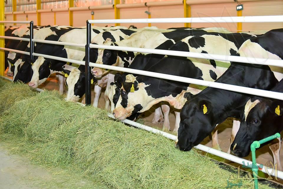 """مزارع الأبقار بالمملكة تنتج أكثر من """"2 مليار"""" لتر من الحليب"""