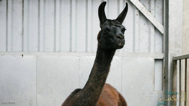 """هل يمثل حيوان """"اللاما"""" أملا في طريق القضاء على كورونا؟"""