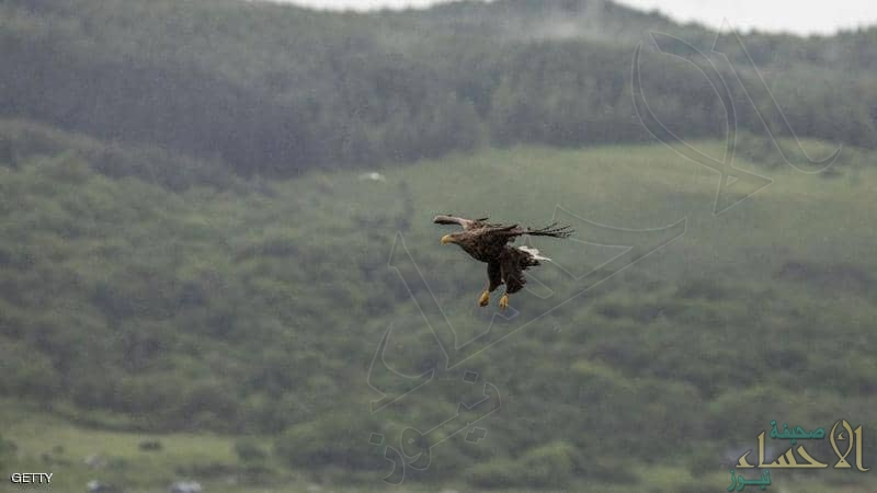 ظهور أكبر طائر جارح في بريطانيا لأول مرة منذ 240 عامًا
