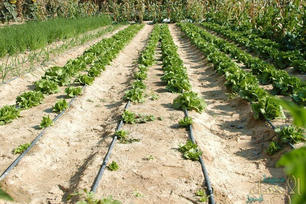 """تحت شعار """"لتدوم خضراء"""" … انطلاق مبادرة خفض استهلاك المياه للأغراض الزراعية في الأحساء"""