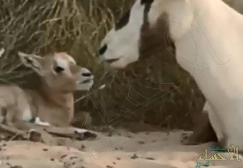 ولادة أول صغير للمها في متنزه أبقيق بالشرقية (فيديو)