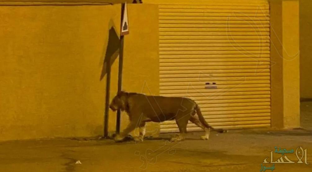 الأمن البيئي يسيطر على أسد في أحد أحياء الرياض