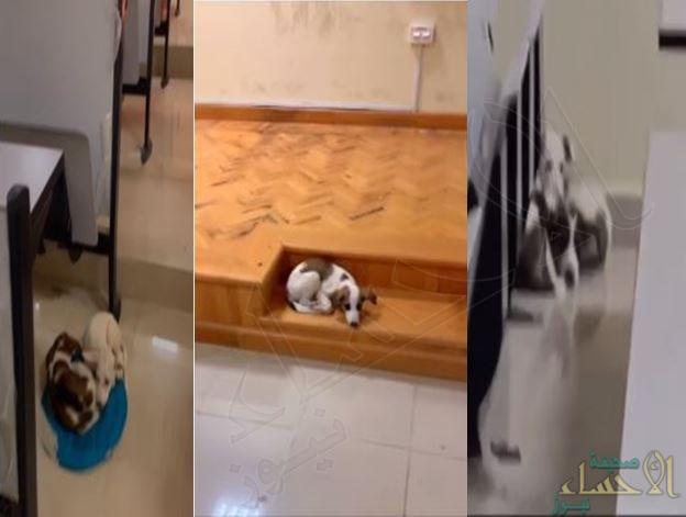 كلاب ضالة تستوطن قاعات كلية الشريعة في الأحساء .. مقاطع صادمة يتداولها الطلاب!! (فيديو)